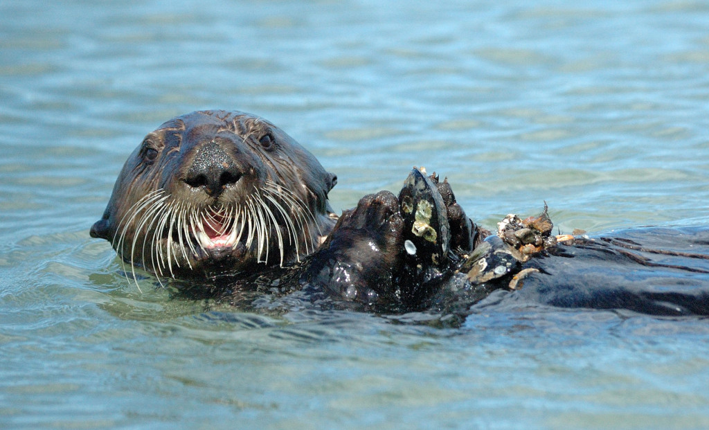 Sea otters are larger than river otters, and often float on their back while feasting on shellfish.