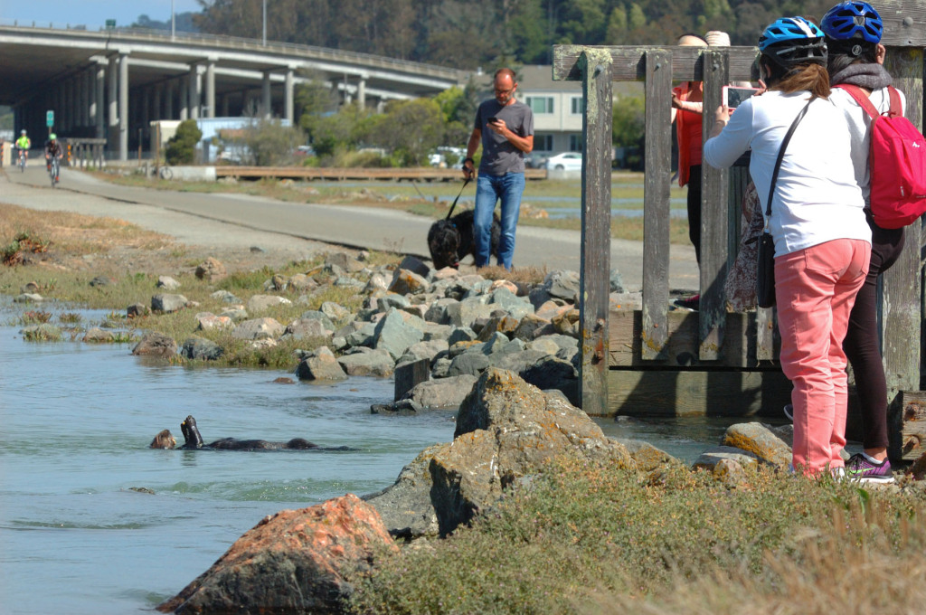 A visiting sea otter was oblivious of the attention he attracted near Richardson Bay bridge in Mill Valley, in 2015. Photos by Parker Pringle