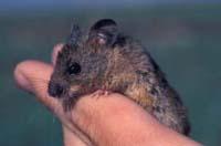 Salt Harvest Mouse