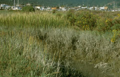 The various cordgrasses found in San Francisco Bay have different growth habits and preferred locations in the marsh.
