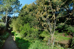 In the upper stretch of Friends' project on Larkspur Creek, we replaced an avenue of acacia trees along the public footpath with oaks, box-elder, willows and buckeye.